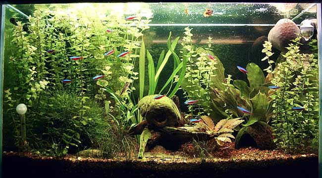 ottocinclus unterschiedlich schreckhaft aquarium forum. Black Bedroom Furniture Sets. Home Design Ideas