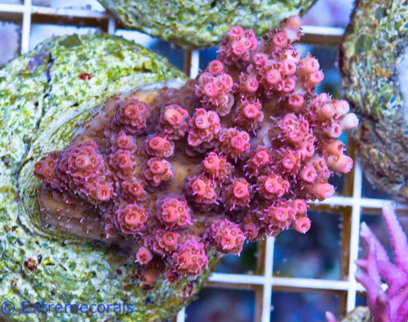 korallen online kaufen bei extremecorals nachzuchten unserer lieblings korallen. Black Bedroom Furniture Sets. Home Design Ideas