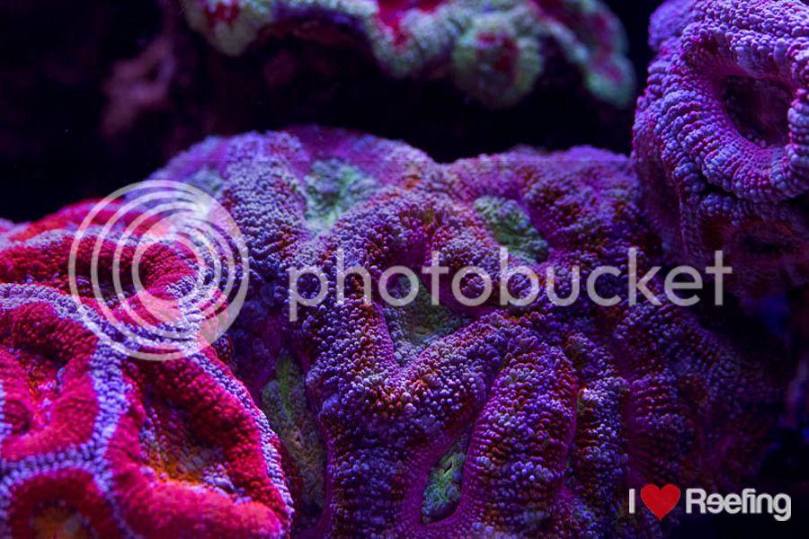 Whitecorals  Meerwasser Shop  Korallen  Anemonen