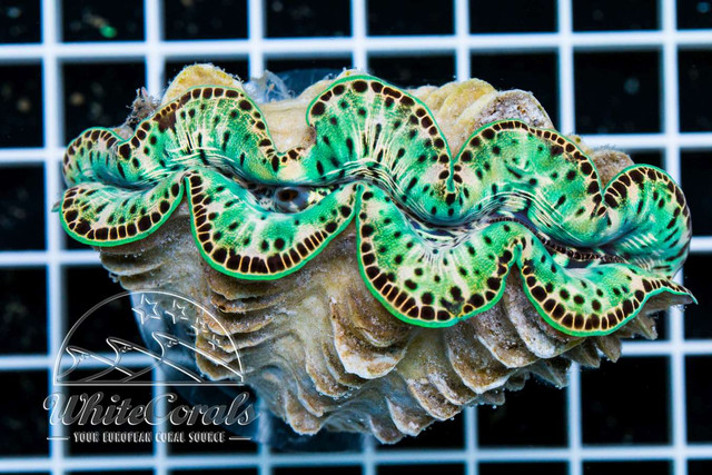 Saturday Clam Fever! -...