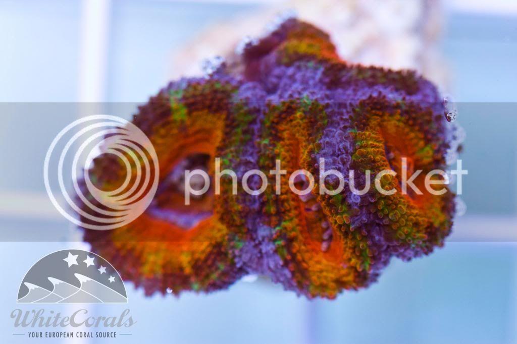 Nice-Price und bunte Korallen! - riffaquaristikforum.de
