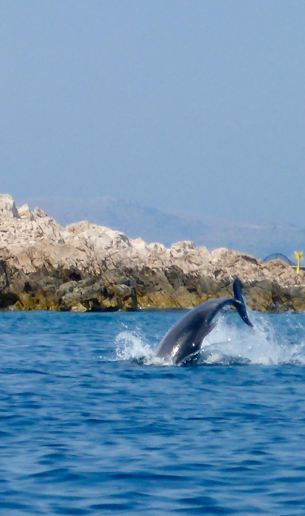 Delfine In Kroatien